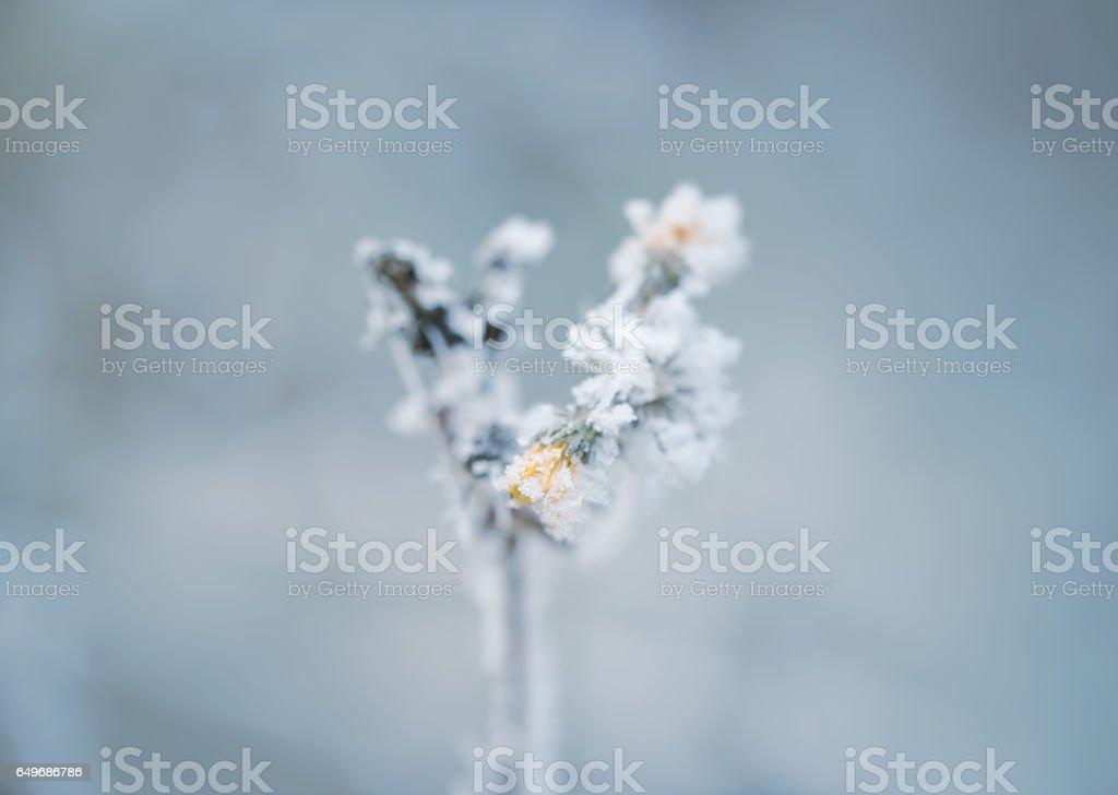 Frozen flower in winter with the hoar-frost stock photo