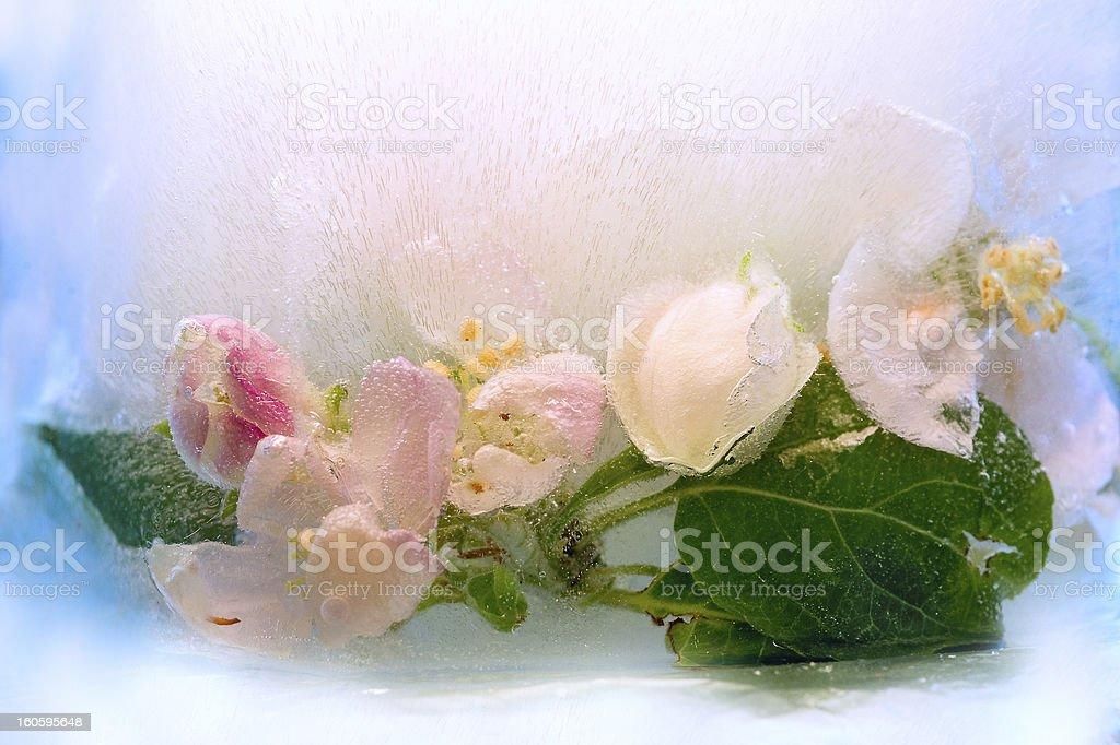 Frozen   flower of apple royalty-free stock photo