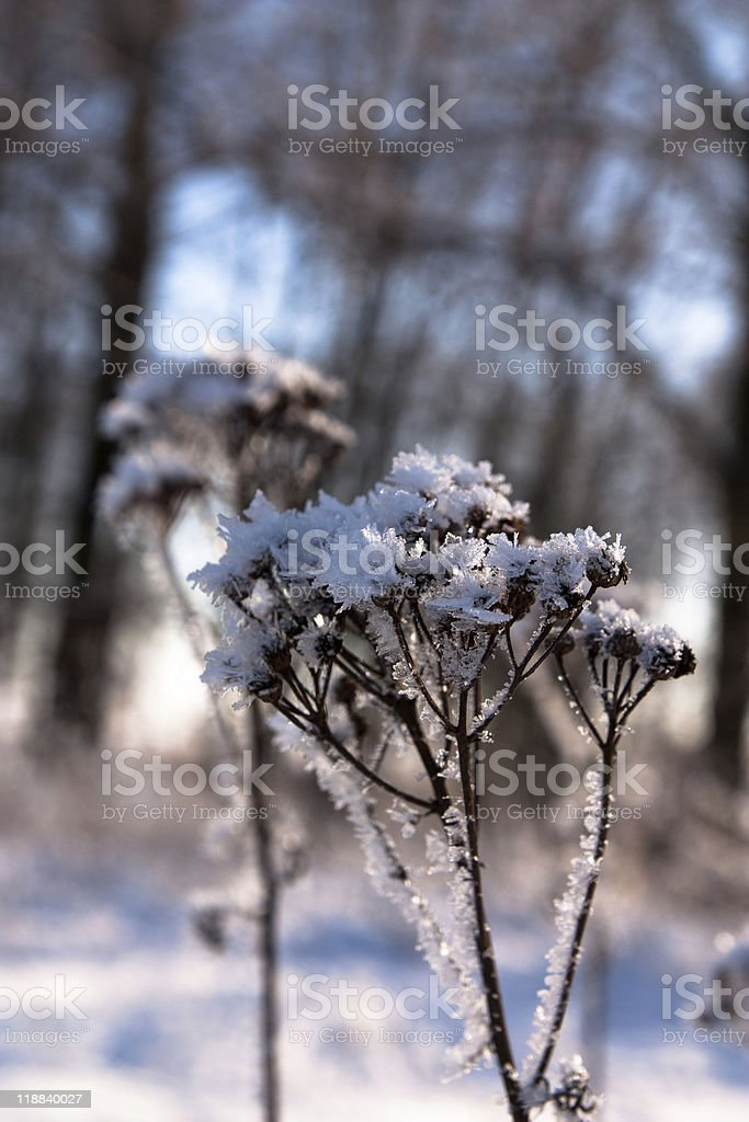 Frozen flower plant royalty-free stock photo