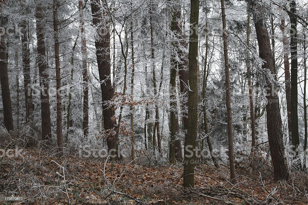 Frozen Forest royalty-free stock photo