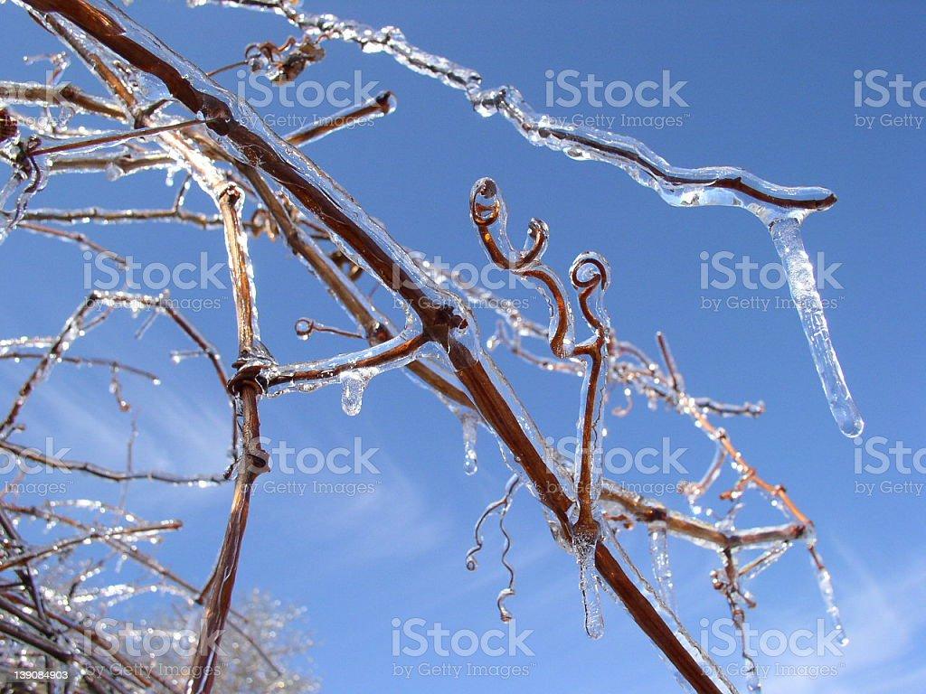 Frozen Grape Vine royalty-free stock photo