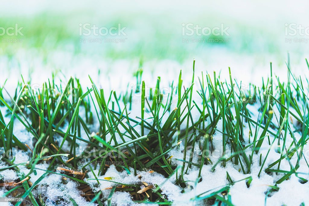 Frozen grass after first snowfall of winter stock photo