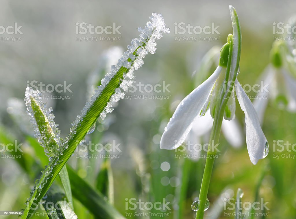 Frozen grass with blooming snowdrop flower stock photo