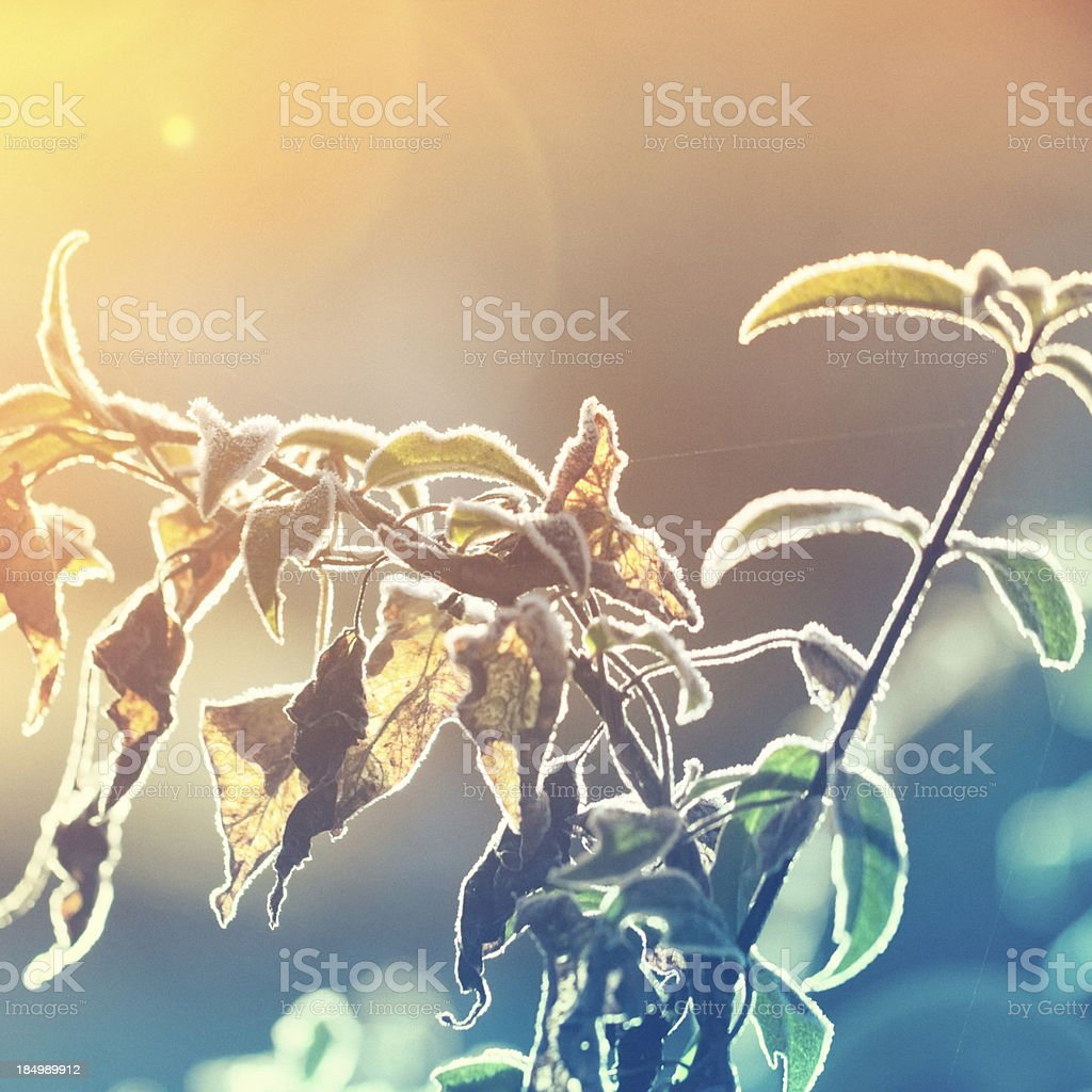 Frozen leaves against light royalty-free stock photo