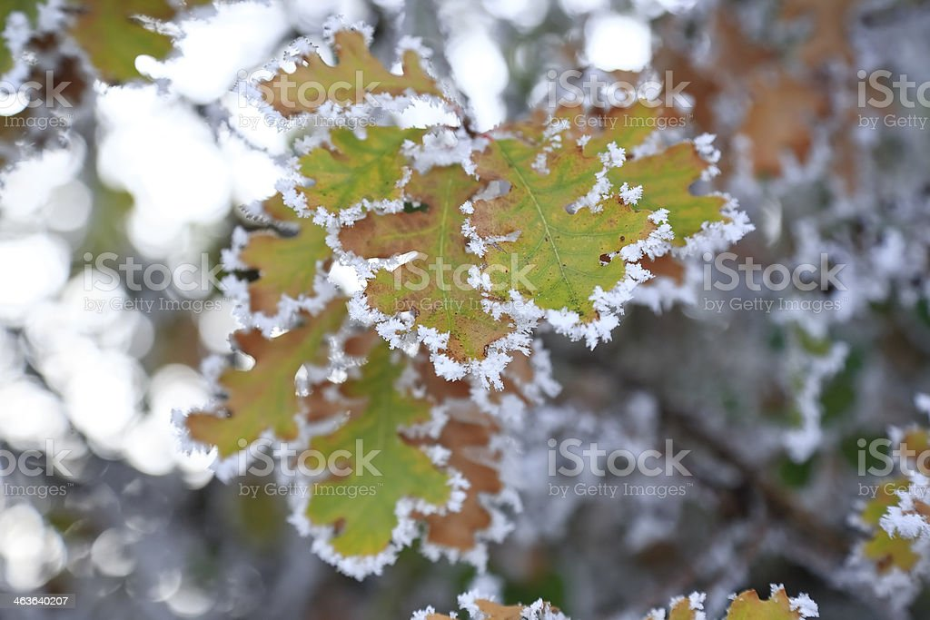 Frozen Leaves on a cold winter day stock photo