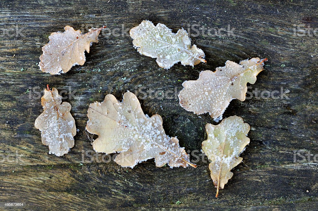 Frozen oak leaves on the wooden table stock photo