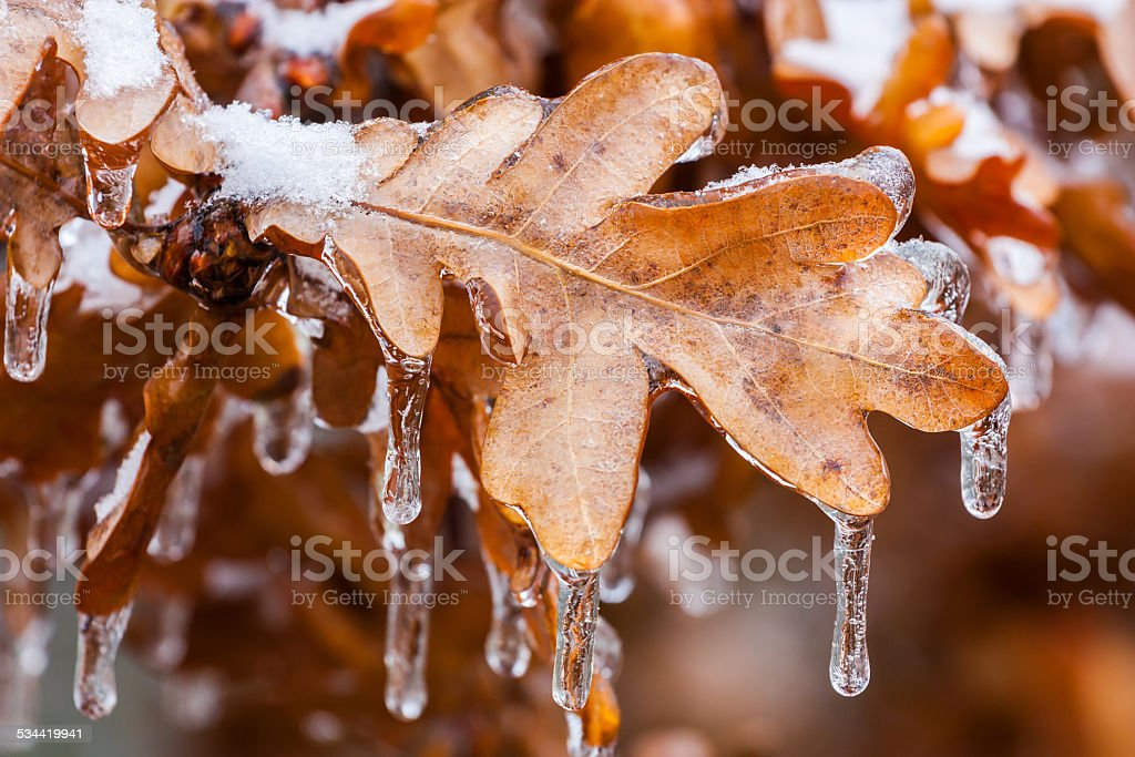 frozen oak leaves stock photo