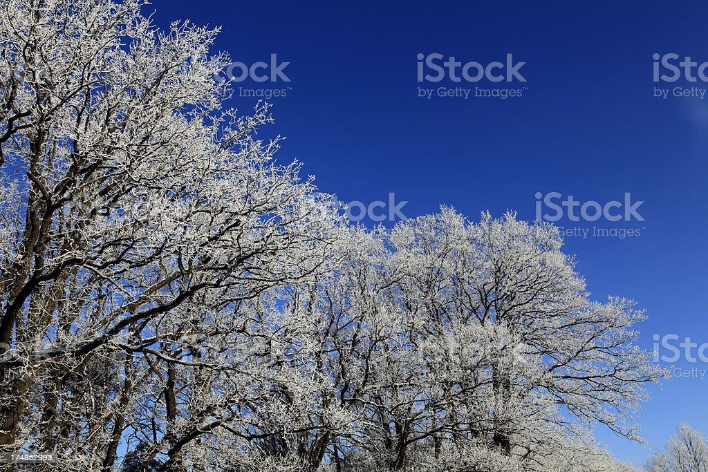 Frozen oaks royalty-free stock photo