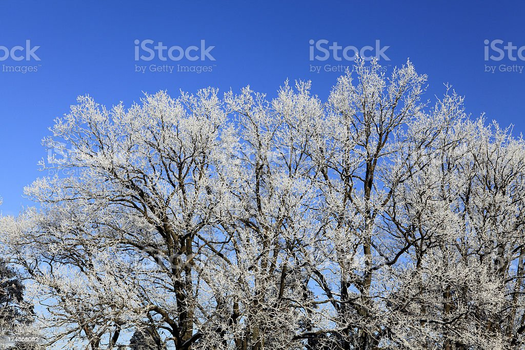 Frozen oaks royalty-free stock photo