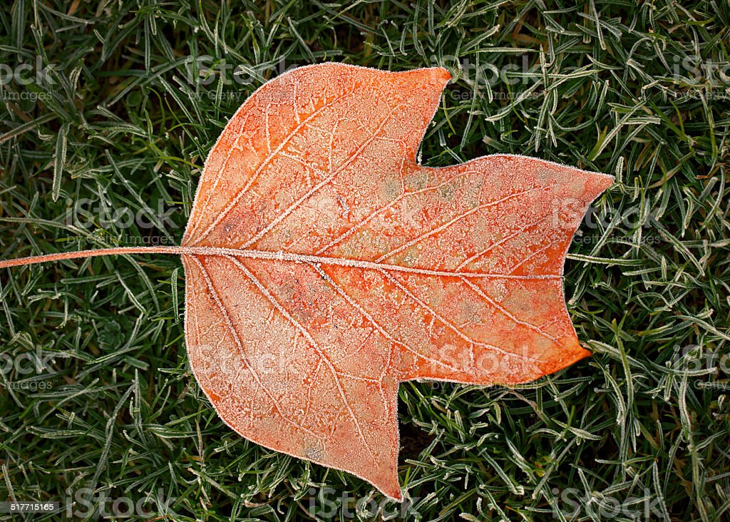 Frozen orange leaf of a tulip tree royalty-free stock photo