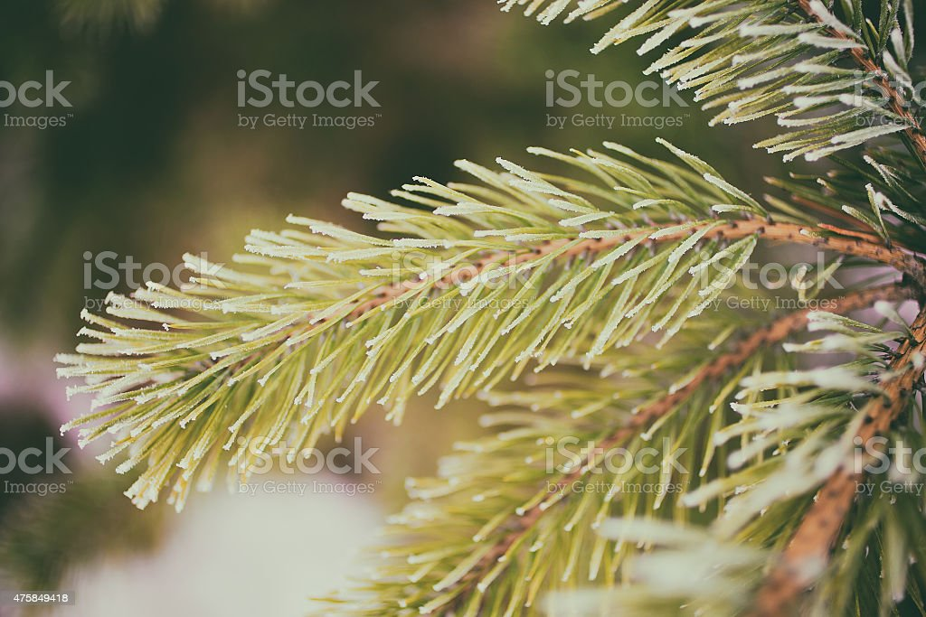 Frozen pine branch as background stock photo