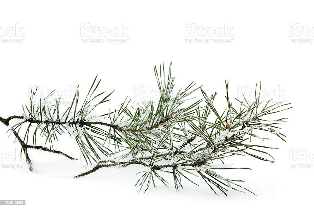 frozen branche de pin photo libre de droits