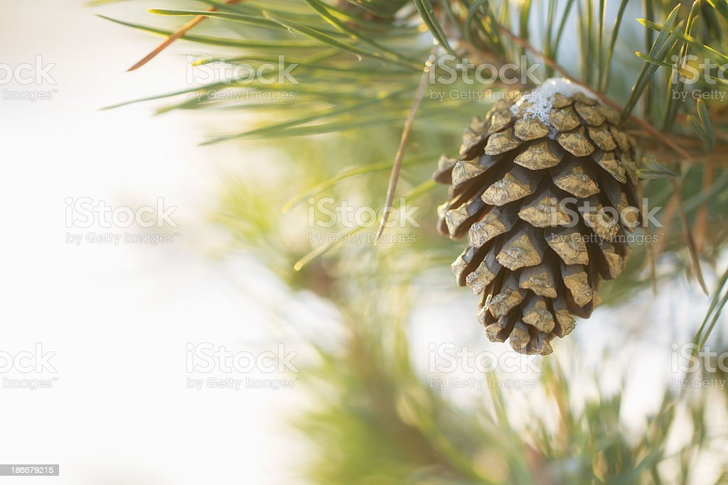 Frozen pine branches royalty-free stock photo