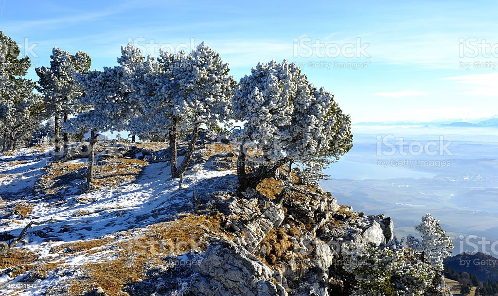 Frozen pinetrees in the Swiss Jura - Aiguilles de Baulmes stock photo