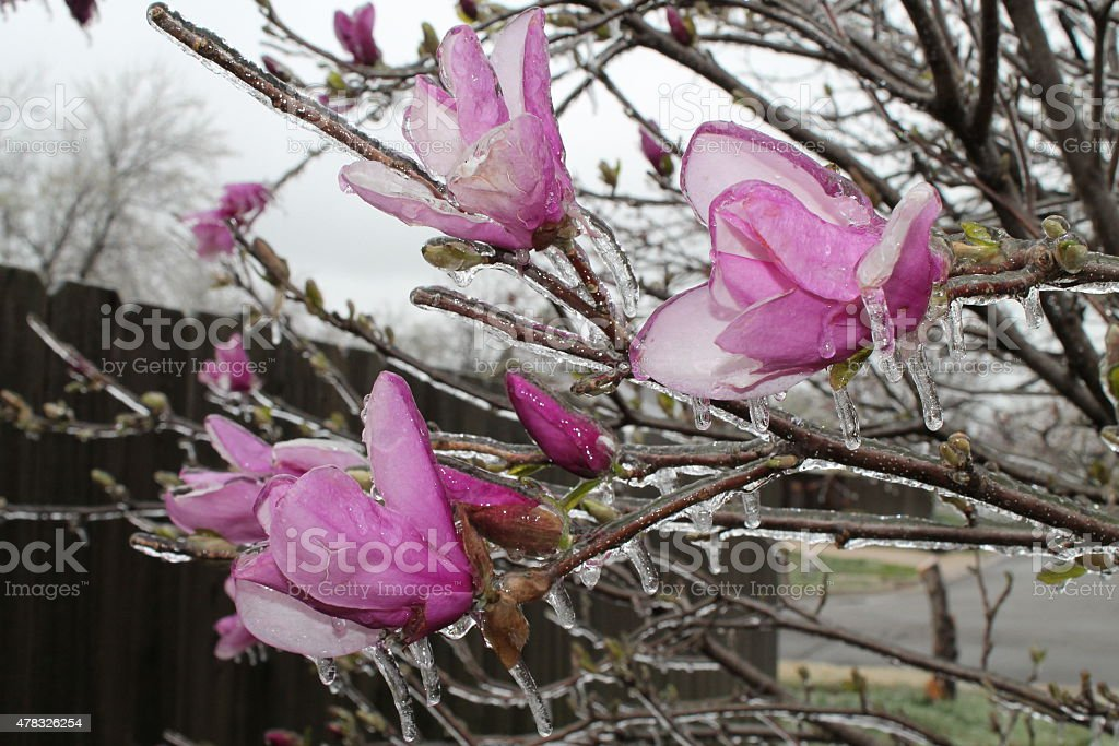Frozen Pink Magnolia Flowers stock photo