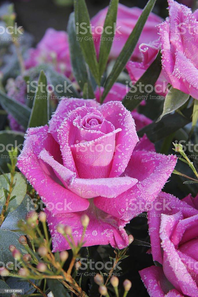 Frozen pink rose royalty-free stock photo
