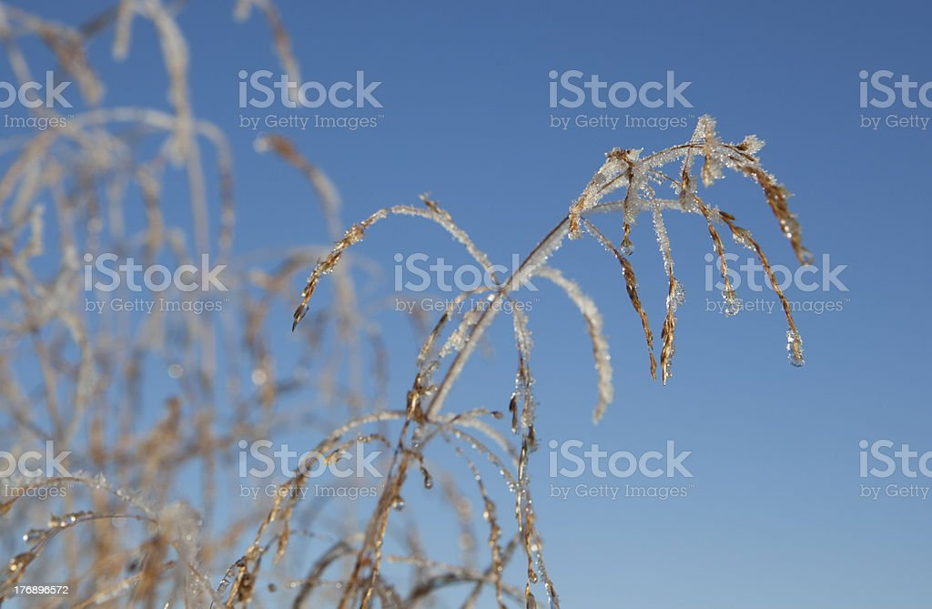 Frozen plant against blue sky royalty-free stock photo