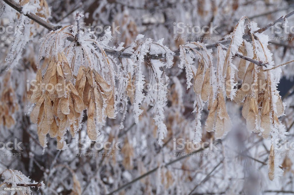 Frozen plants - dried maple seeds covered by hard rime stock photo