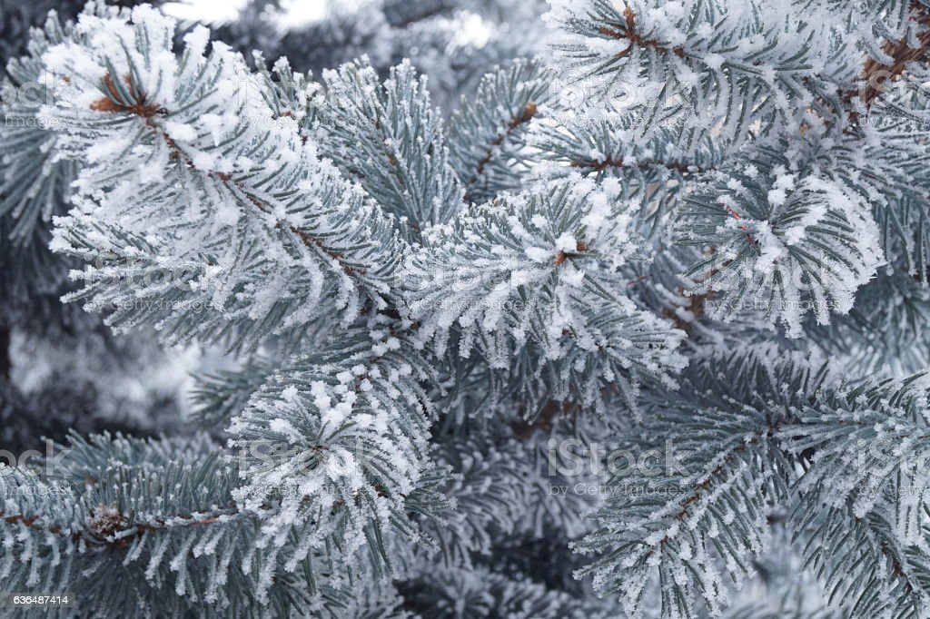 Frozen plants - fir branches covered by hard rime stock photo