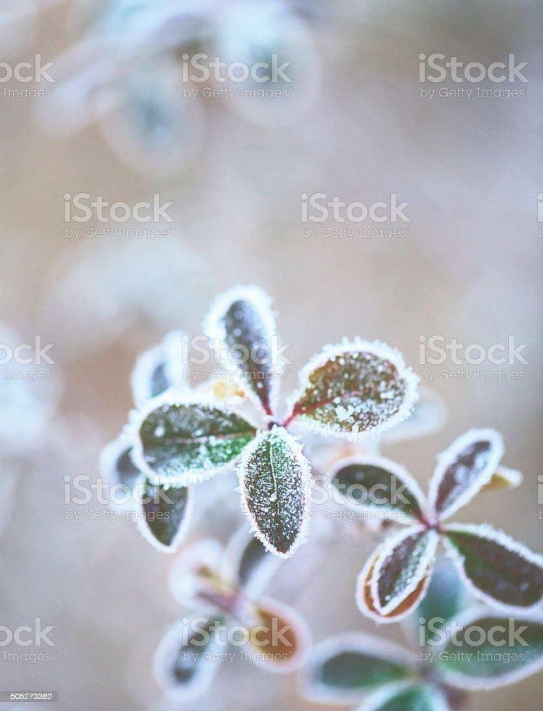 Frozen plants in winter stock photo