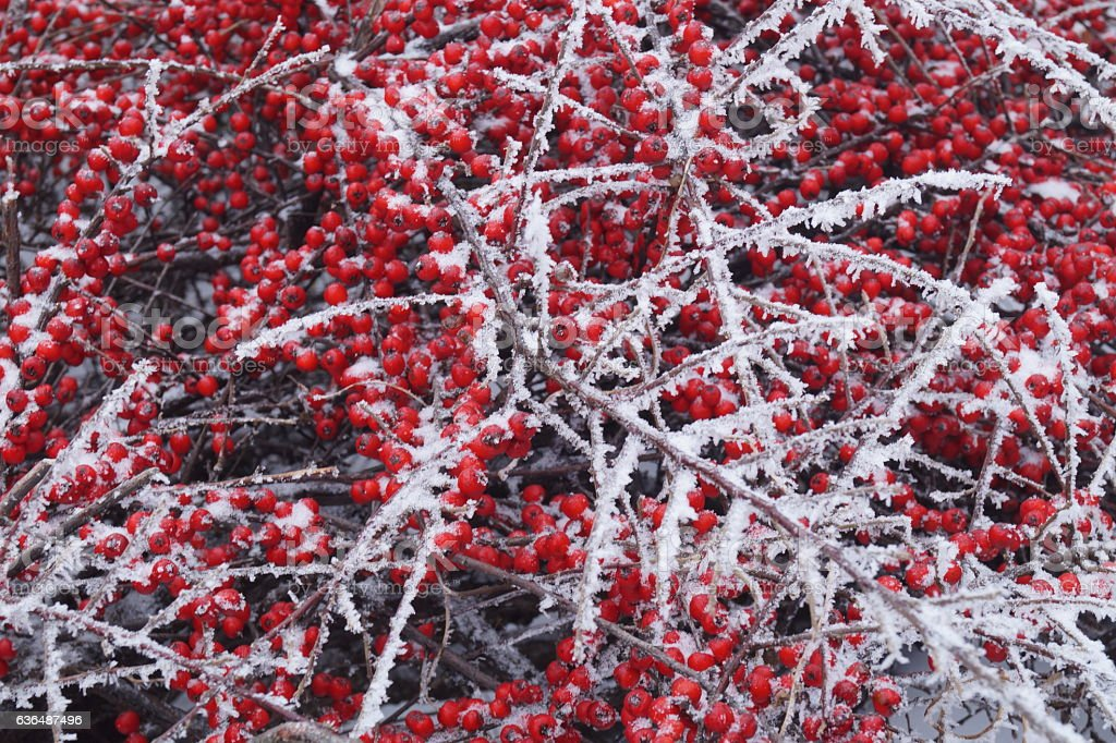 Frozen plants - red berries covered by hard rime stock photo