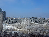 frozen poplar tree branches during winter at Ankara turkey