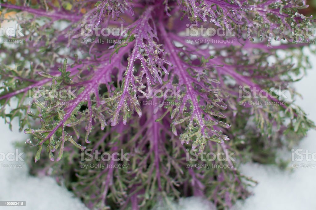 Frozen Purple Kale stock photo
