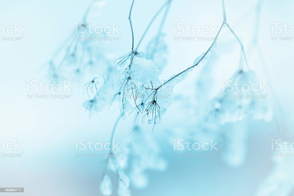 Frozen Queen Anne's Lace wildflowers royalty-free stock photo