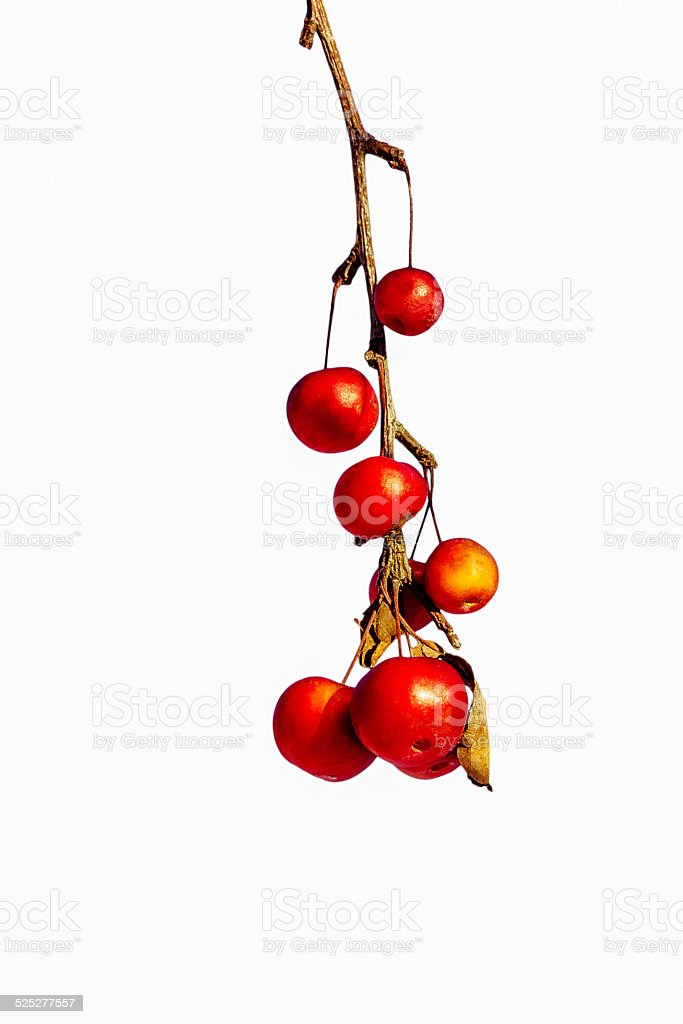 Frozen red crabapples dangle on a dry twig stock photo
