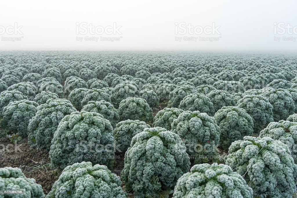 Frozen rime covered green cabbage in a field stock photo
