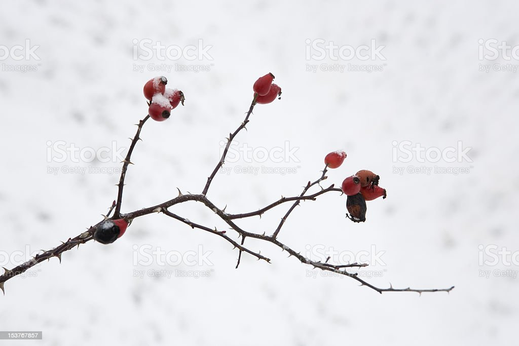 frozen rose hip in winter royalty-free stock photo