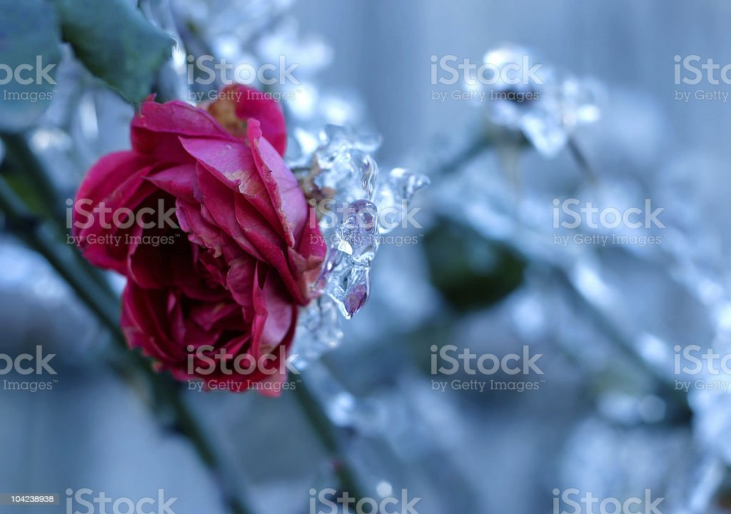 Frozen Rose royalty-free stock photo