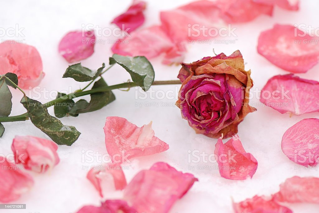 Frozen rose royalty-free stock photo
