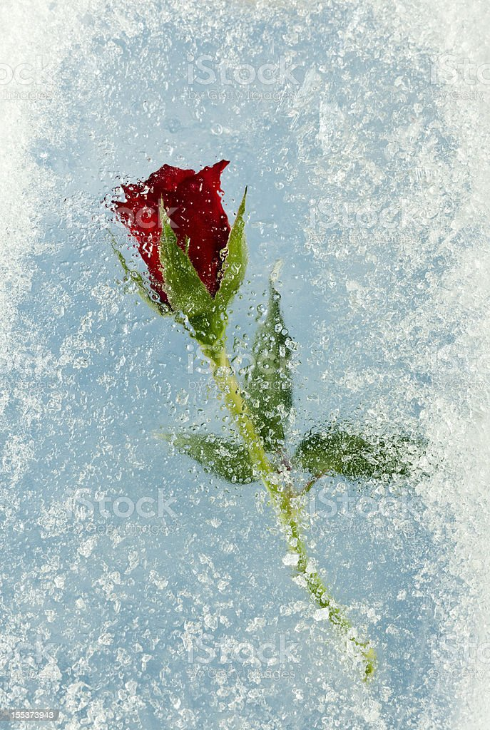 Frozen Rose. stock photo