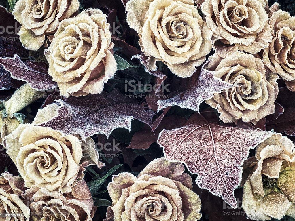 Frozen roses royalty-free stock photo