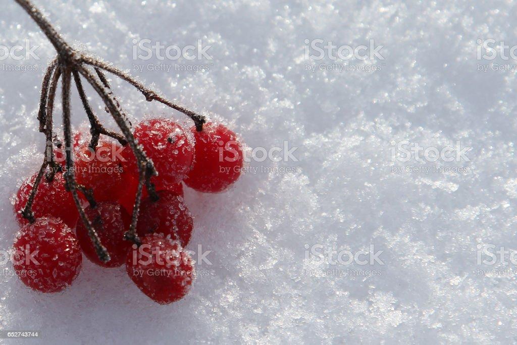 Frozen rowan berries on a snow stock photo