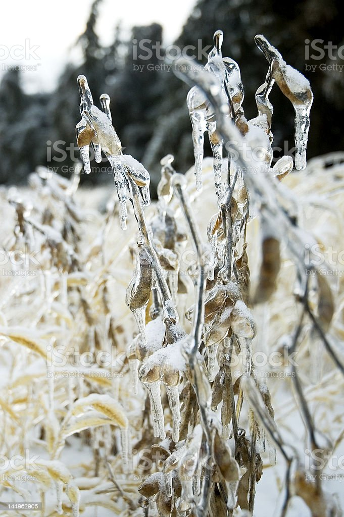 Frozen Soybeans stock photo