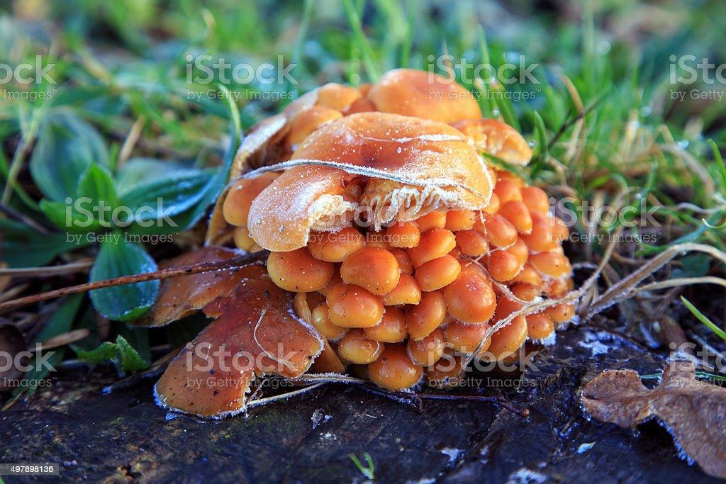 Frozen Sulphur Tuft mushrooms stock photo