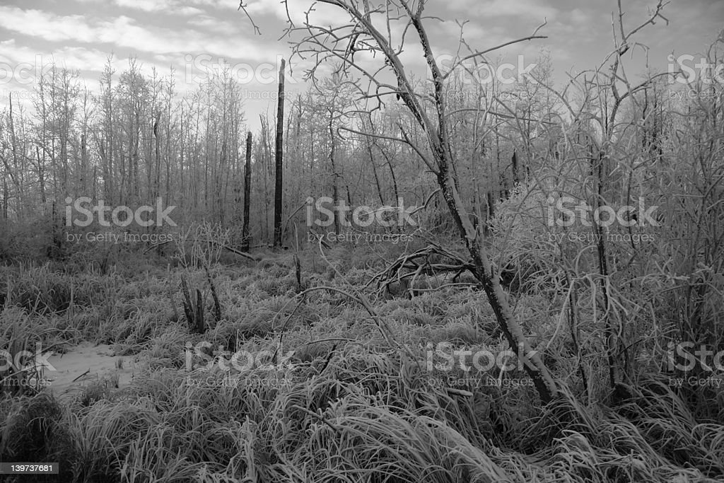 Frozen Swamp royalty-free stock photo