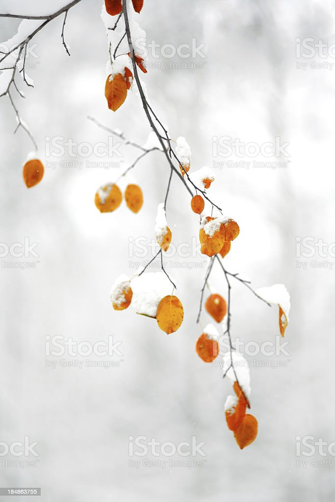 Frozen tree branch from the snow outside royalty-free stock photo