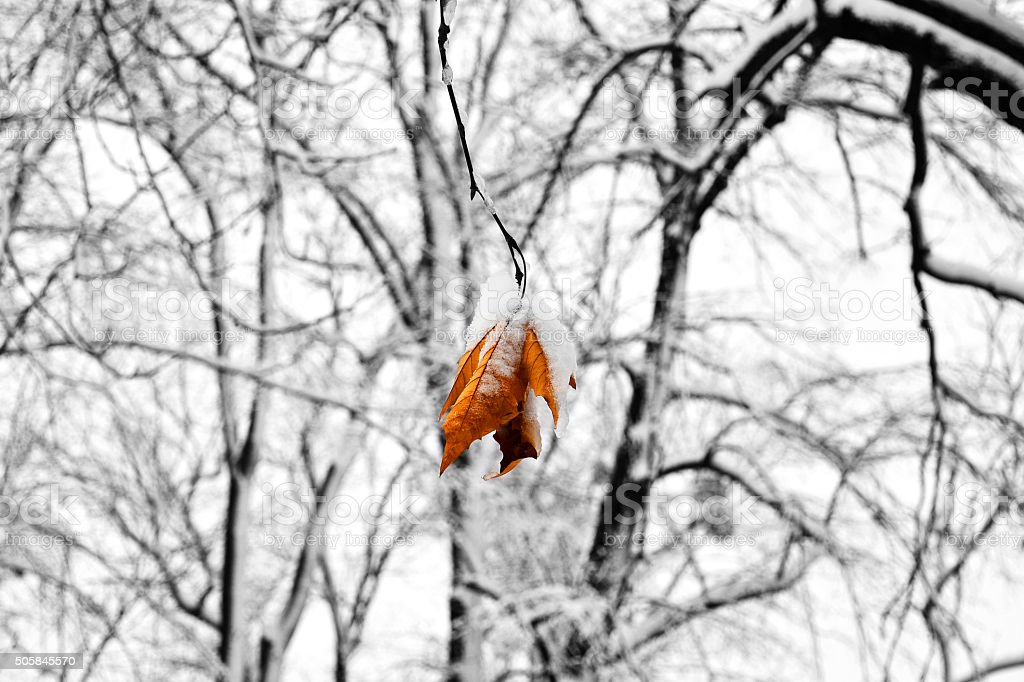 frozen tree with the last remaining leaf stock photo