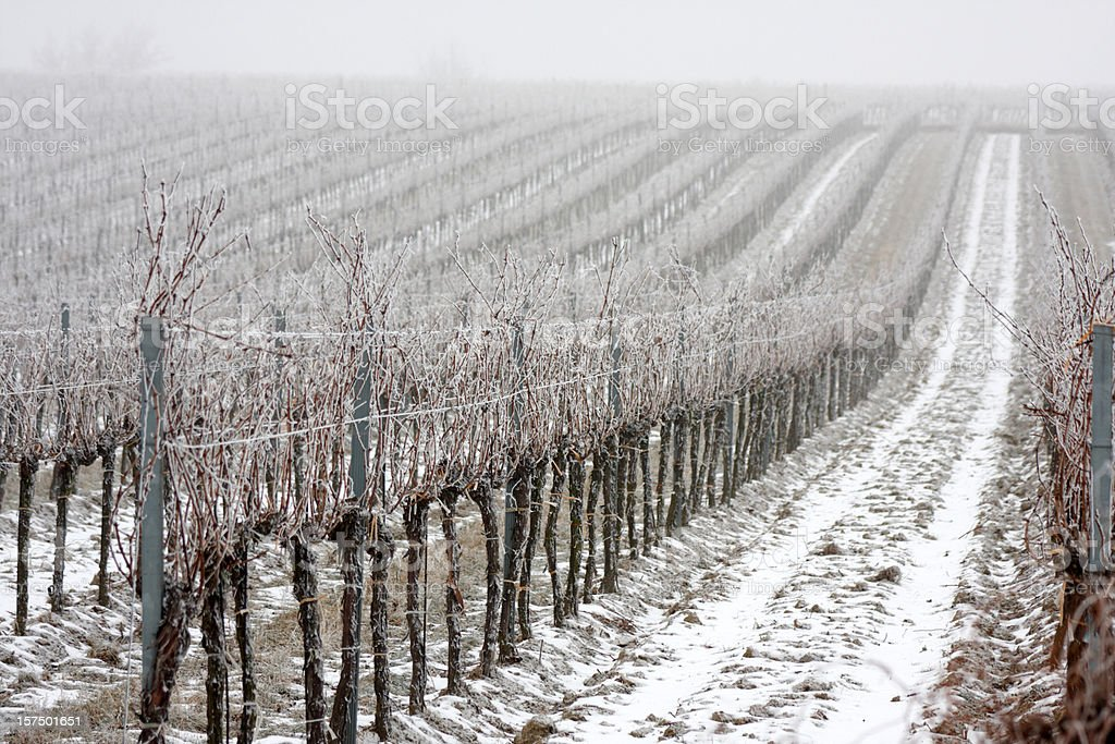 frozen vineyard royalty-free stock photo
