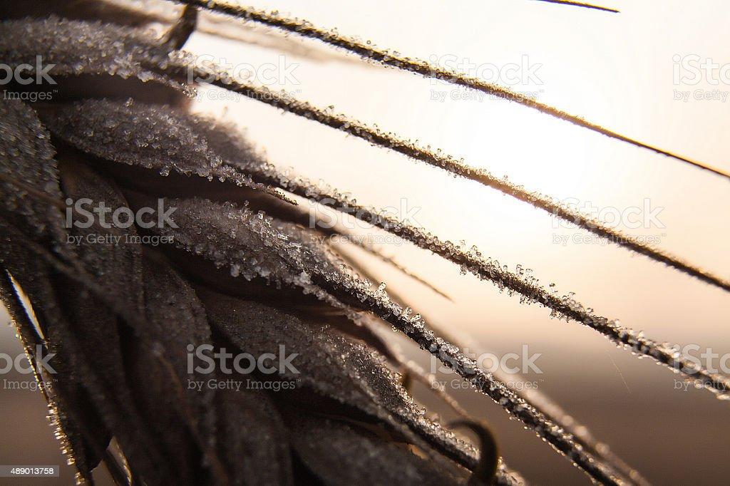 frozen wheat close-up stock photo
