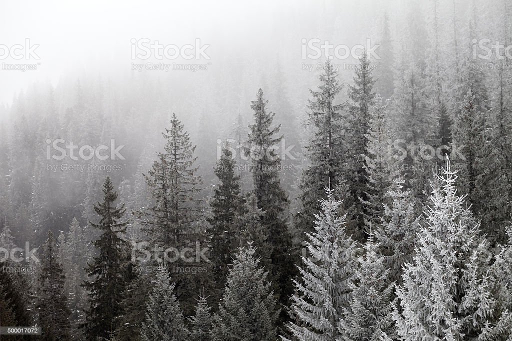 Frozen winter forest in the fog stock photo