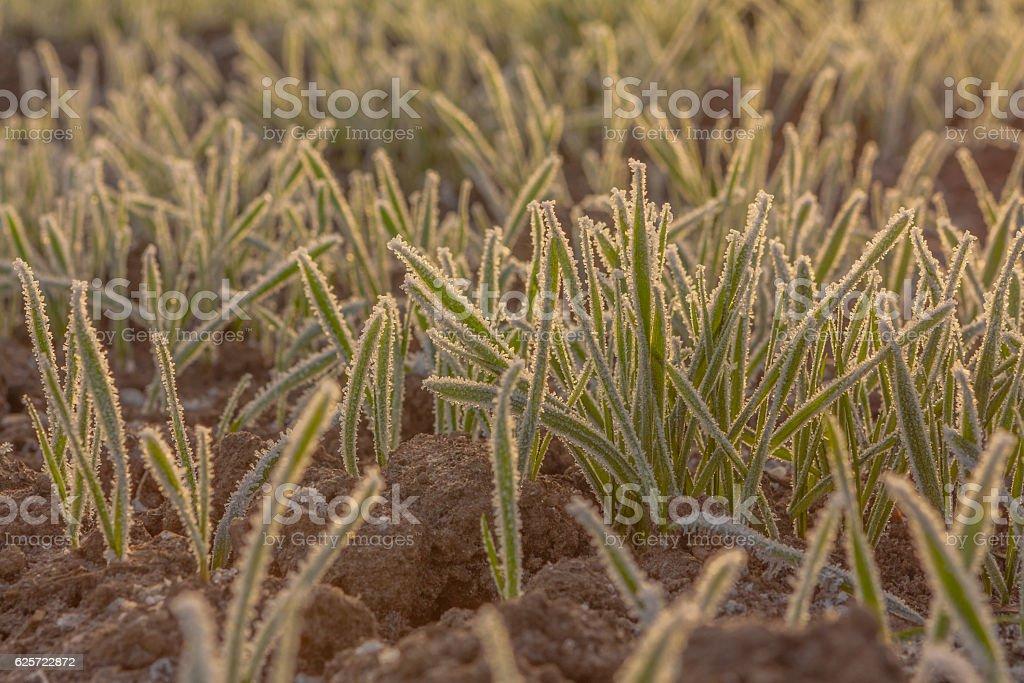 Frozen Winter Wheat stock photo