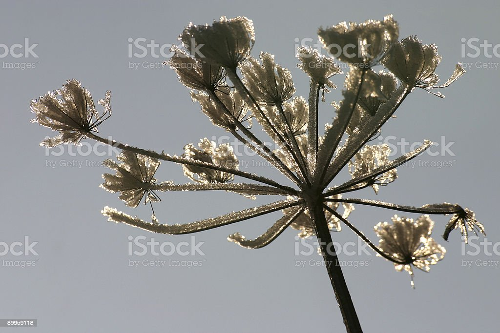 Frozen-over hogweed stock photo