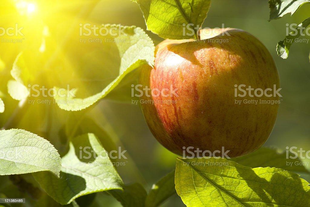 Fruit  apple  tree  red stock photo