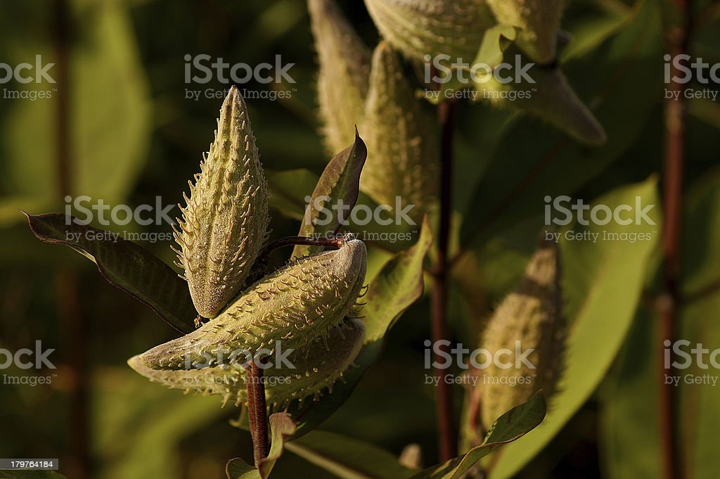 Fruit bag of Common Milkweed royalty-free stock photo