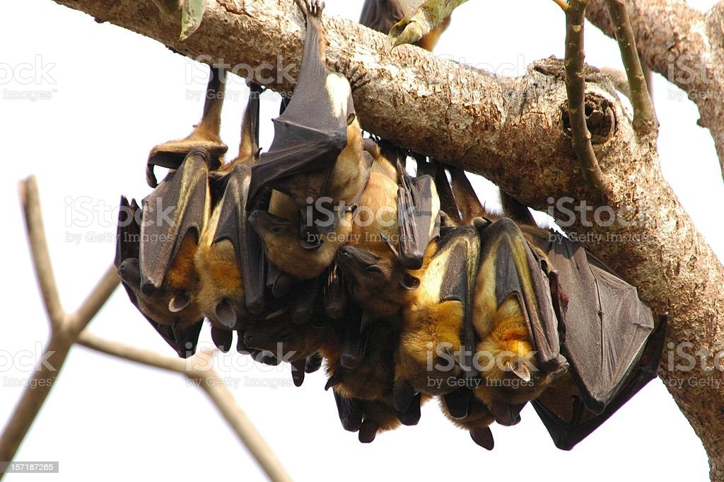 Fruit bat colony royalty-free stock photo