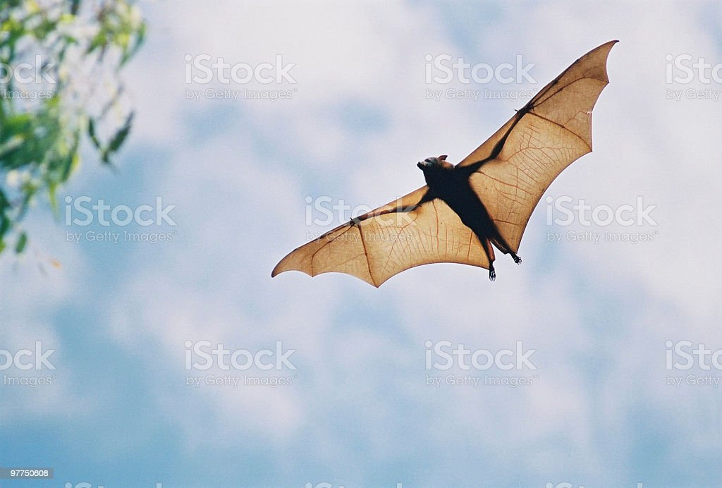 fruit bat in flight stock photo